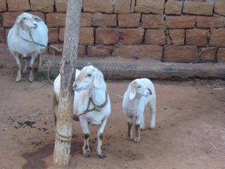 The Cute Sheep