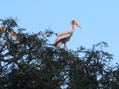 A painted stork on top of one of the trees