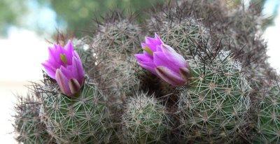 flori cactusi