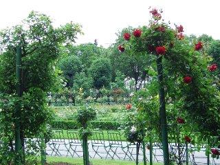 roses at Volksgarten (onemorehandbag)