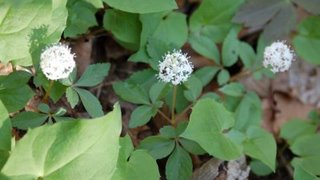 dwarf ginseng flowers