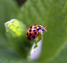 Multicolored Asian Lady Beetle on a sprig of apple mint