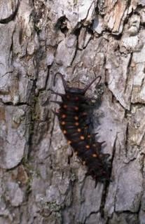 Pipevine Swallowtail larva