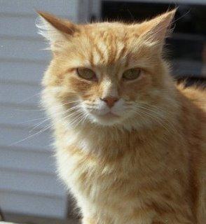 Portrait of Princess, a fuzzy yellow cat
