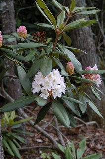 Rhododendron at Allegheny Lodge