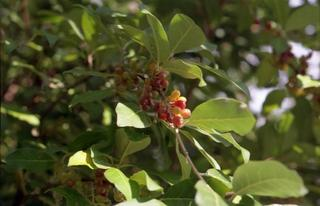 Russian olive berries