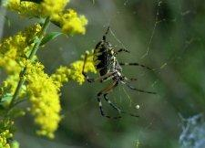 Garden spider on goldenrod