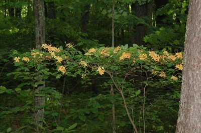Flame azalea shrub in bloom