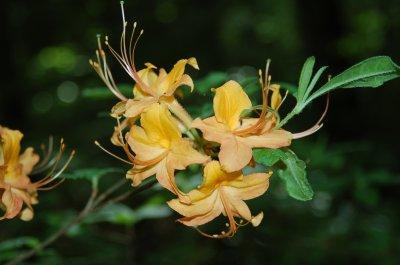 Flame azalea blossoms