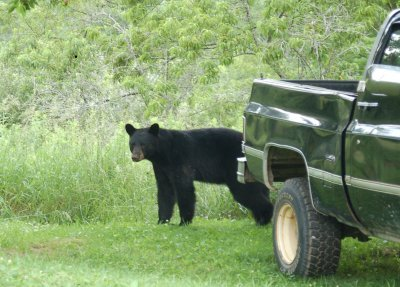 Black bear next to my truck