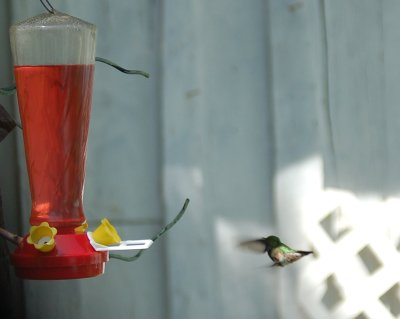 Hummingbird flying backward