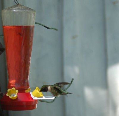 male Ruby-Throated Hummingbird at Feeder