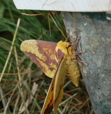 Imperial Moth--side view