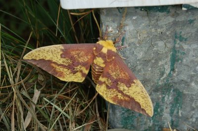 Imperial Moth, Top view