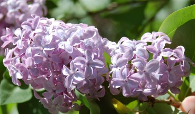 Lilac inflorescences