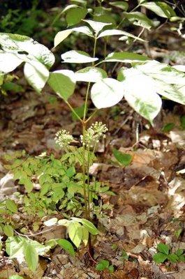 wild sarsaparilla inflorescences