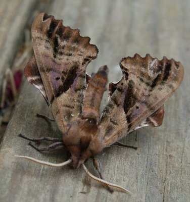 Droop Mountain sphinx moth, front view
