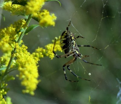 Orb weaving spider on goldenrod
