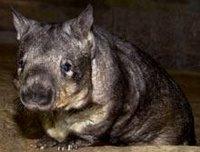 Carver Wombat Martello