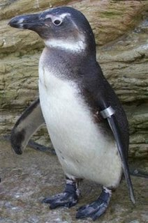 This Penguin is a Jackass!