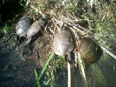 Turtles sunning in a wetland