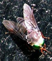 American Horsefly