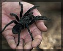 picture of a spider for  bugtong-filipinosongsatbp.blogspot.com