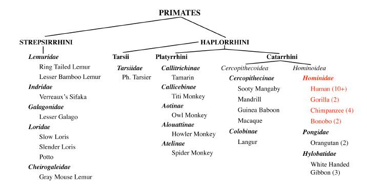 Molecular systematics of bonneted bats (Molossidae: Eumops) based ...