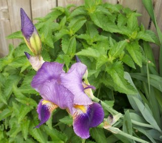 Click for a bigger view of Dave's gorgeous Iris