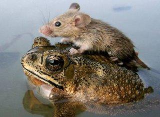 ratinho pegando carona com sapo, na agua