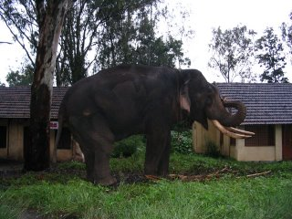 Bharatha (the Elephant)