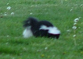 Ms. Skunkie tearing up the lawn on a fine June evening, Spring, 2005