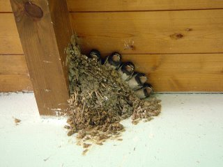newly hatched sparrows