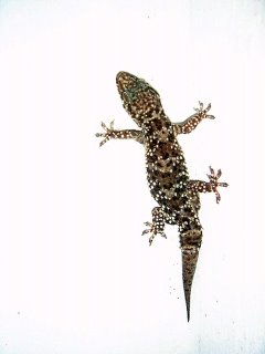 fridge lizard