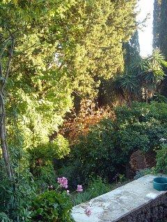 persimmon bush tree