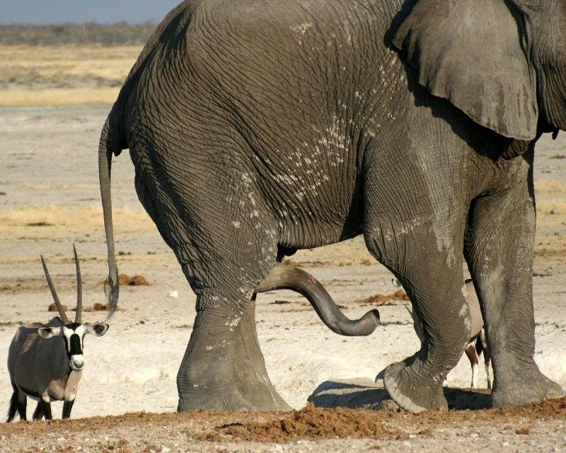 como es el pene de un elefante