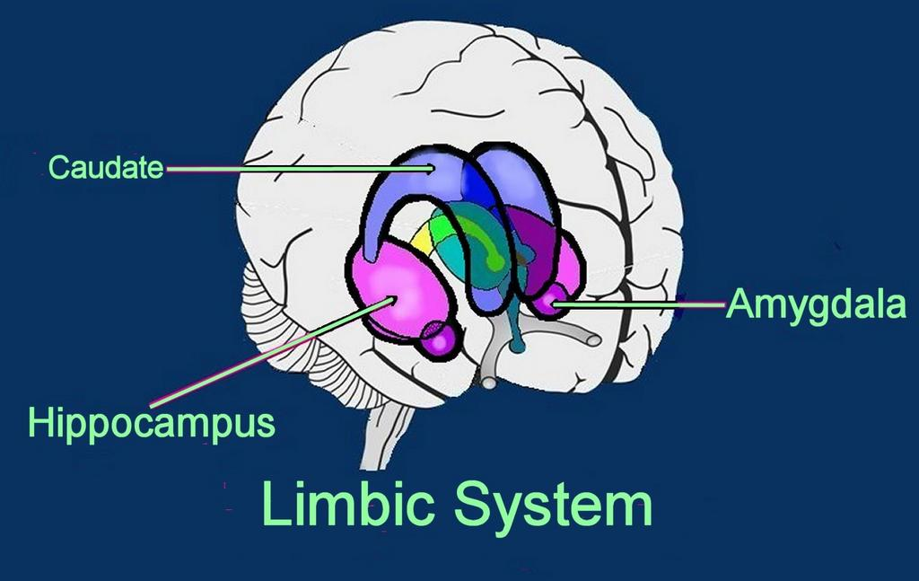 Brain limbic system limbic system image site author ccuart Gallery