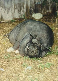 Can Potbelly Pigs Eat Dog Food