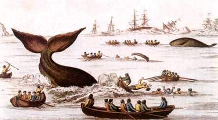 whale hunting Sperm