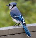Click for more information about Blue Jay species of birds