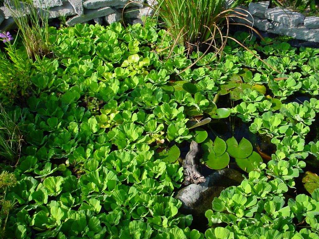 Aquatic Turtle Plants : My So Called Pond Life: Pond Plants, Frogs, and Turtles