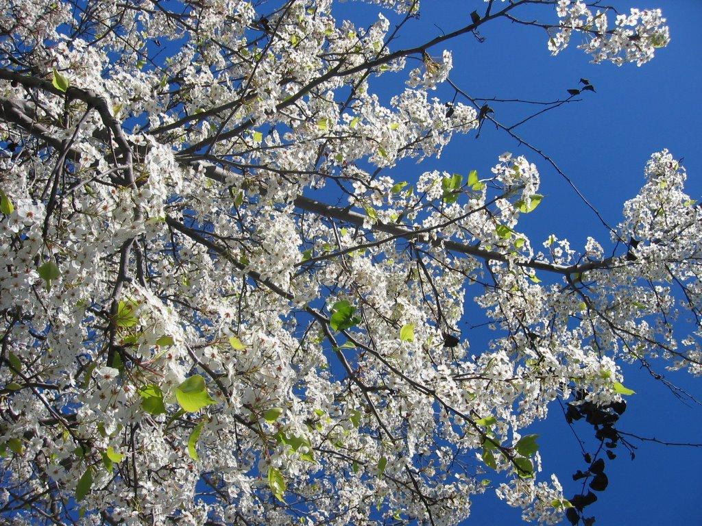 Pralhads Blog White Flowers Blossom
