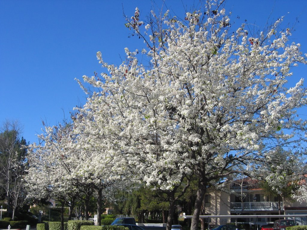 Pralhads blog white flowers blossom white flowers blossom some trees in my community go dry in winter even though san diego does not get snow but every year in the januaryfebruary time mightylinksfo