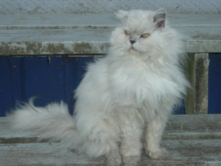 a beautiful long haired white cat with grey pointing sitting on distressed bluish-white wooden steps