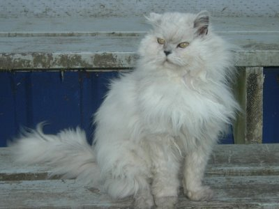a beautiful long haired white cat with gray pointing setting on distressed bluish-white wooden steps