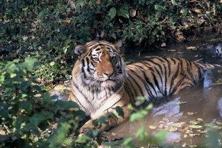 Tigre siberiana (Pantera tigris altaica)
