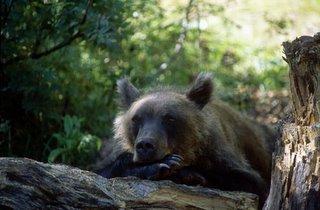 Orso bruno (Ursos arctos)