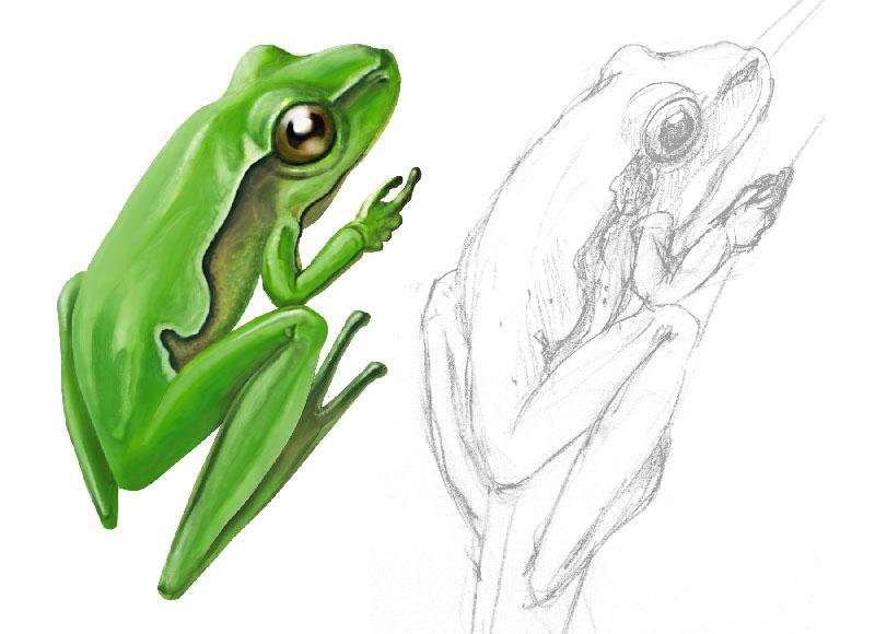 Dibujos de rana a lapiz - Imagui