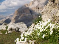 Fiori abbarbicati alle rocce delle Tofane