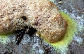 Apparently this is a 'dog vomit slime mold,' but that seemed somehow appropriate.